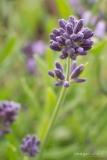 Lavender_770