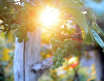 Green-Grape-Sunset